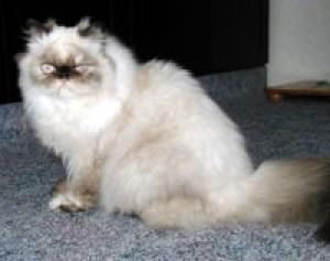 Perzská dlhosrstá mačka