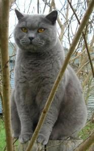 Britská mačka  b0c12a51a71