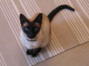 Mačky v AxiPIX  siamské mačka 7fab255f63b