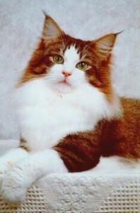 Perzská modrá mačka  f09bca5cd5d